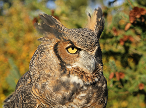 Einstein Great-horned OWl