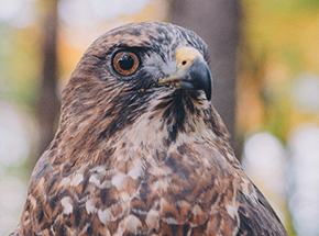 Whistler Broad-winged Hawk