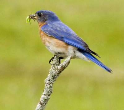 Bluebird at Caden Alvar