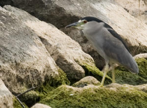 Black-crowned Night Heron Adult