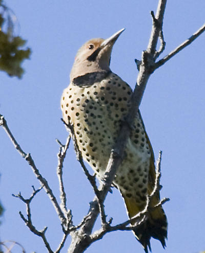 Flicker at top of tree
