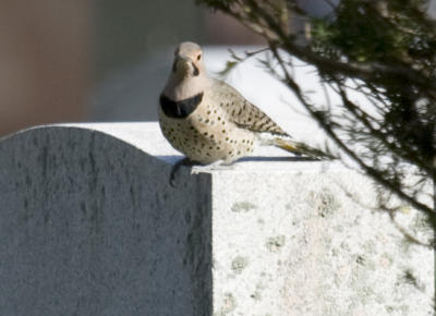 Flicker on headstone