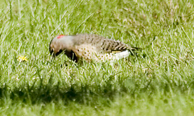 Flicker on lawn eating ants