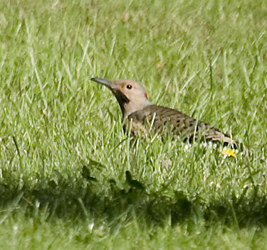 Flicker on lawn looking up