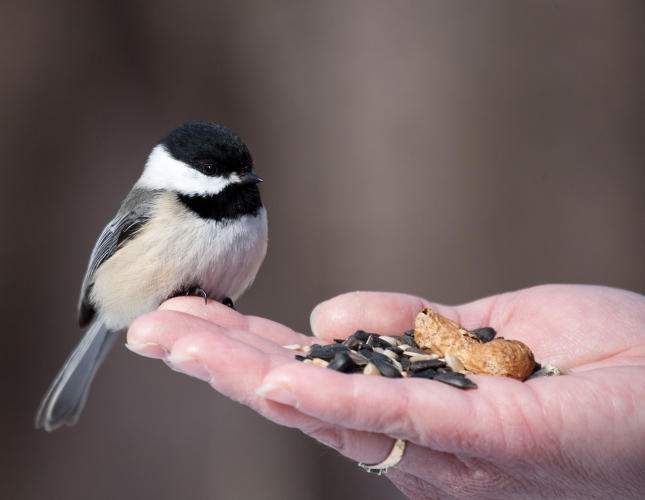 Hand Feeding Black-capped Chickadees