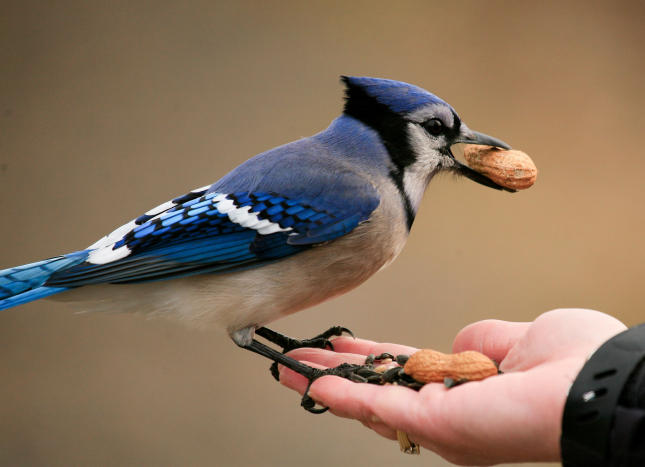 Hand Feeding Blue Jays