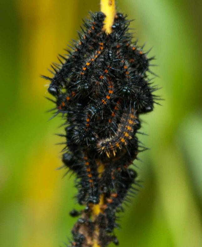 Mourning Cloak caterpillars
