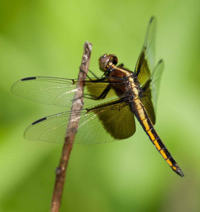 Widow Skimmer (dragonfly, female)