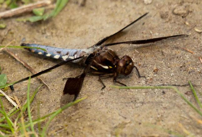 Widow Skimmer (dragonfly, male)